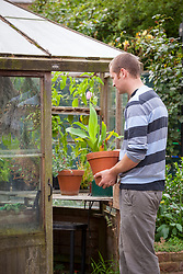 Bringing tender container plant (canna) into a greenhouse to store during the winter months