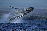 humpback whale, Megaptera novaeangliae, breaching, Puako, Hawaii Island, #1 in sequence of 6; caption must include notice that photo was taken under NMFS research permit #587