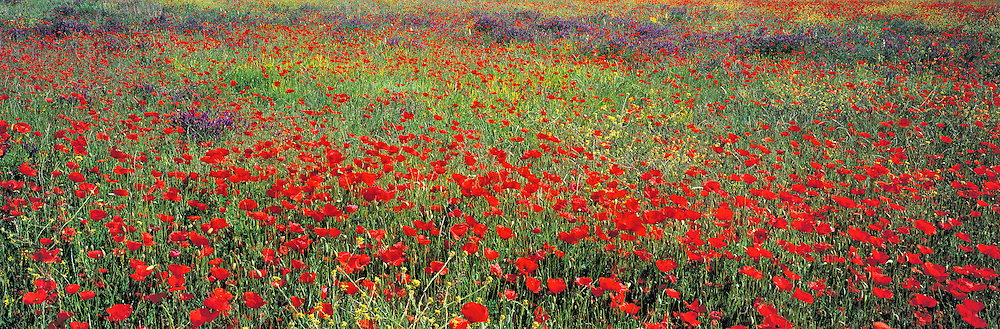 Red poppies and other wildflowers fill a field near Varages in Provence, France.