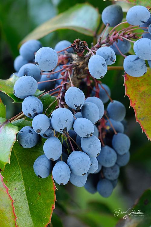 Oregon grape (Mahonia aquifolium, Berberidaceae), Revelstoke, British Columbia, Canada