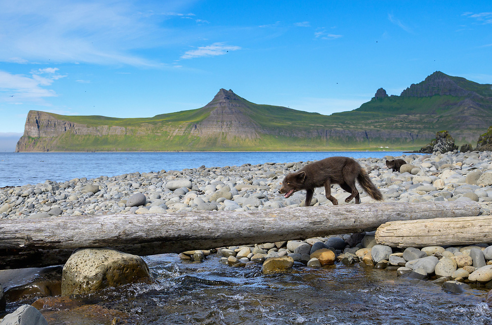 Arctic fox (Alopex lagopus) cubs feeding on cod carcass scavenged on the beach. Hornvik, Westfjords, Iceland. July 2019