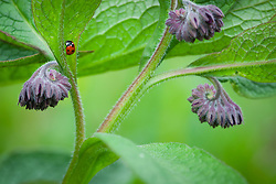 Russian Comfrey with ladybird. Blue or purple Comfrey. Symphytum x uplandicum