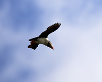Atlantic Puffin (Fratercula arctica). . Image taken with a Nikon D4 camera and 80-400 mm VR lens