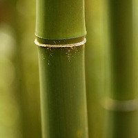 close-up of Bamboo stalks in Tantalus rainforest