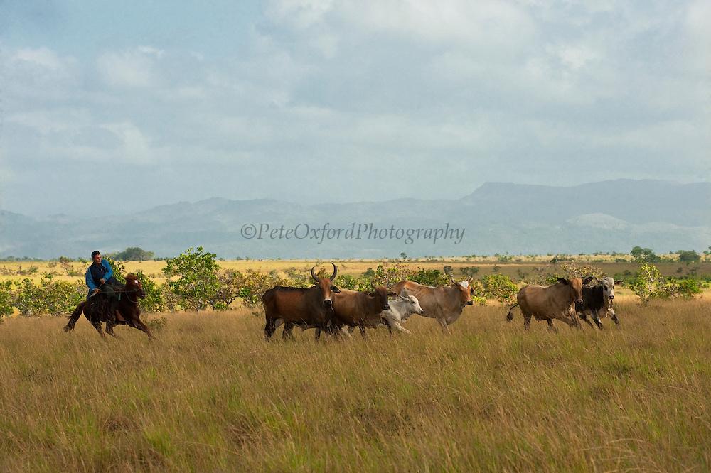 Cattle for Beef<br /> Kwaimata Village<br /> Rupununi<br /> GUYANA<br /> South America