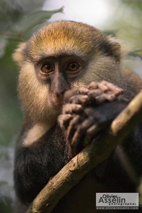 Mona monkey at the Baobeng-Fiema monkey sanctuary, Ghana, West Africa.