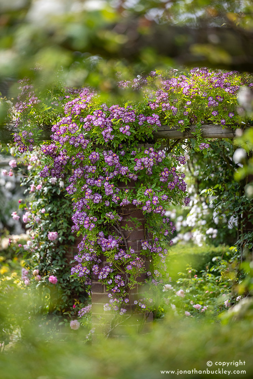 Rosa 'Veilchenblau' AGM growing up a brick pillar
