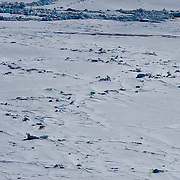 Polar Bear (Ursus maritimus) a lone bear on the sea ice of the Beaufort Sea, Alaska(Ursus maritimus) a