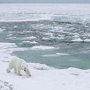 Polar Bear on ice. Hudson Bay, Cape Churchill, Canada