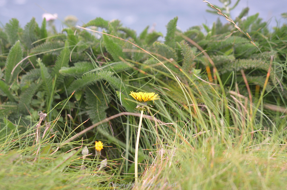 The weather was totally against us the day we visited the cliffs.  There were gale force winds and intermittent rain.  These flowers didn't seem to mind.  They were growing at the edge of the cliffs.  County Clare, Ireland