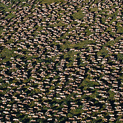 The Porcupine Caribou herd in the valley of the Hulahula River. Arctic National Wildlife Refuge, Alaska