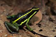 Three-striped Poison Arrow Frog (Epipedobates trivitatus)<br /> Kanuku Protected Area<br /> Rupununi<br /> GUYANA<br /> South America