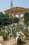 Aloes grow around the doric Greek temple at Segesta in northwest Sicily