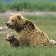 Alaskan Brown Bear, (Ursus middendorffi) Mother sitting with cub looking left, one cub in front of her, one cub behind her, Katmai National Park. Alaska