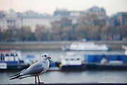 Seagull standing on a handrail by the river. London.