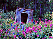 Fireweed and Delphinium blooming in front of outhouse in the back reaches of Carcross, Yukon Territory, Canada.
