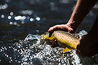 Brown trout. Central Oregon.