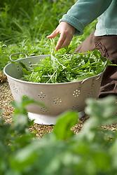 Sarah harvesting salad leaves into a colander