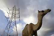 Camels and powertower<br /> <br /> The Sultanate of Oman is a country in Southwest Asia. It borders the United Arab Emirates in the northwest, Saudi Arabia in the west, and Yemen in the southwest.<br /> The oil discovery, in the 60's, started to transform this asleep country. Today, Oman is  torn by modern roads, industrialized and rich ( Omanization ). The tradition still dominates life of the 2,5 million inhabitants: strong religion ( muslim ), traces of tribal loyalties and a very characteristic culture.
