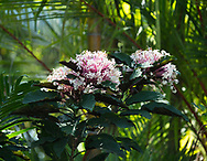 Cleondendrum bungei, pink flowers on a tropical shrub in the St. Rose Nursery, La Mode, St. George's, Grenada, West Indies, Caribbean