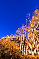 A grove of aspen trees in autumn, Kebler Pass, near Crested Butte, Colorado USA.