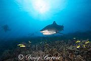 tiger shark, Galeocerdo cuvier, and scuba divers, Honokohau, Kona, Big Island, Hawaii, USA ( Central Pacific Ocean )