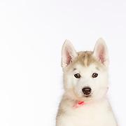 20150325 Siberian Husky Puppies