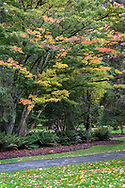 A walking path and some fall foliage on Japanese Maples at Stanley Park in Vancouver, British Columbia, Canada.  Photographed near the Stanley Park Dining Pavilion.