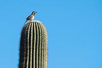 Cactus Wren, Campylorhynchus brunneicapillus, sings while perched on a Saguaro cactus, Carnegiea gigantea, in Papago Park, part of the Phoenix Mountains Preserve near Phoenix, Arizona