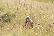 Peregrine (Falco peregrinus) juvenile on ground. Sussex, UK.