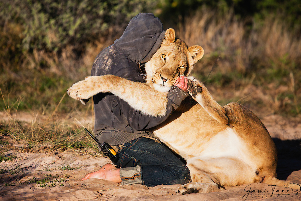 Valentin Gruener with a lioness he hand raised from a small dying cub to a healthy adult hugging in the morning when they see each other,Grasslands Private Reserve, Kalahari Desert, Botswana, Africa