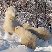 Polar bear (Ursus maritimus) mother nursing her cubs, Hudson Bay, Manitoba, Canada