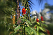 Red Ginger, Flower<br />