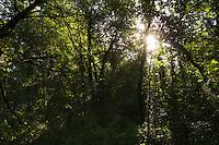 Hardwood alluvial forest along the river Allier. Pont-du-Chateau, Auvergne, France.