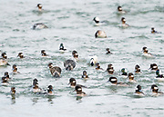 As this flock of Bufflehead rode the waves at Indian River Inlet Delaware, individuals would be constantly diving for food