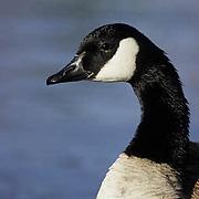 Canada Goose, (Branta canadensis) Adult.