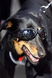 31 January 2016. New Orleans, Louisiana.<br /> Mardi Gras Dog Parade. The Mystic Krewe of Barkus winds its way around the French Quarter with dogs and their owners dressed up for this year's theme, 'From the Doghouse to the Whitehouse.' <br /> Photo©; Charlie Varley/varleypix.com