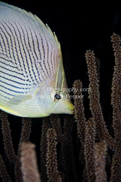 butterfly fish eats on reef in Bonaire