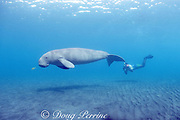 snorkeler and mature male dugong or sea cow, Dugong dugon, endangered species, juvenile golden pilot jack, Gnathanodon speciosus, Vanuatu, South Pacific