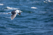 Gull in flight over the North West Atlantic Ocean, Massachusetts, USA