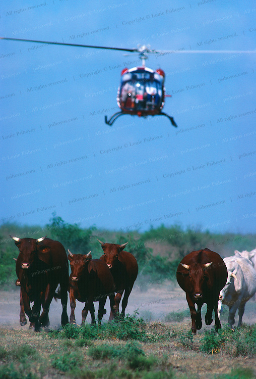 Cowboys cut cattle with a helicopter in Texas.