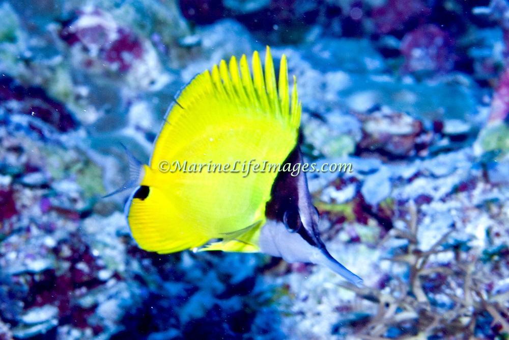 Longnose Butterflyfish inhabit reefs. Picture taken Palau.