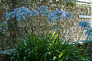 Agapanthus or Lily of the Nile, popular flowers growing in Jersey, Channel Isles