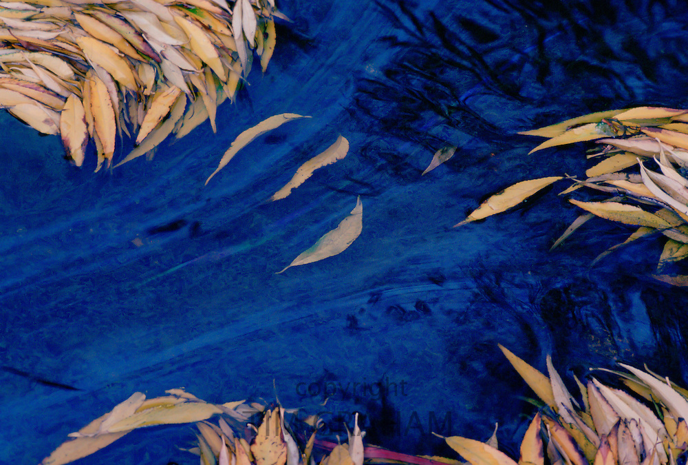Leaves fallen from a willow tree form an abstract pattern in a polluted river, England, United Kingdom