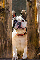 A French Bulldog looking through a hole in a fence, Littleton, Colorado USA.