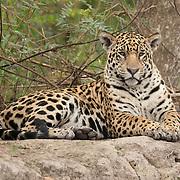 Jaguar (Panthera onca). Pantanal, Brazil