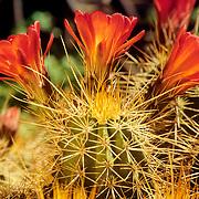 Cactus in the Sonoran Desert. Saguaro National Park. Tucson, Arizona