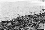 "9707-K202. written on original negative: ""Harem on Gorbatch Rookery CLA"" St. Pauls Island. Pribilof Group. July 11, 1919"