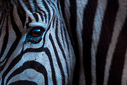 The eye of a zebra catches the last light of the day as it looks up while drinking at river in South Africa. One of Africa's most recognisable species, the plains zebra is almost entirely confined to protected areas and, with its population decreasing, reminds us that even our most iconic wildlife needs our protection.<br /> <br /> BIO: Neil Aldridge is a conservationist, photographer and filmmaker who uses his work to raise awareness and support for endangered wildlife and threatened places. Having grown up in Africa, he has committed many years to championing the continent's species. His images have won awards including World Press, the overall title of European Wildlife Photographer of the Year and two British Wildlife Photography Awards. Neil is invested in developing the future of conservation storytelling through his work as a lecturer at Falmouth University in Cornwall, England.<br /> <br /> WEBSITE: conservationphotojournalism.com<br /> INSTAGRAM: @aldridgephoto