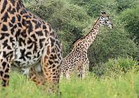 Masai Giraffes, Giraffa camelopardalis tippelskirchii, in Tarangire National Park, Tanzania